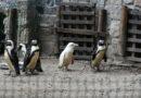 Zoológico de Polonia presenta un pingüino albino, una especie en peligro de extinción