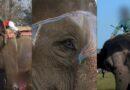 Elefantes son golpeados con ganchos para que escenifiquen un partido de fútbol