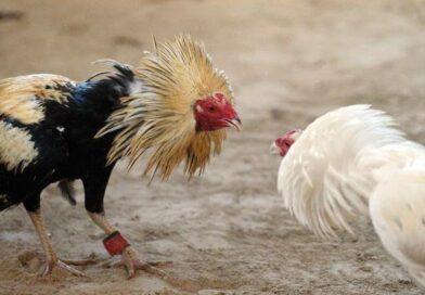Diputados prohíben corridas de toros y peleas de gallos en Quintana Roo