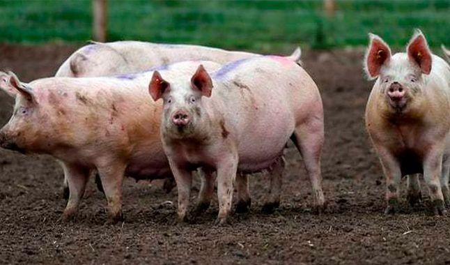 Criminales dan de comer a cerdos restos de sus víctimas, asegura gobernador colombiano