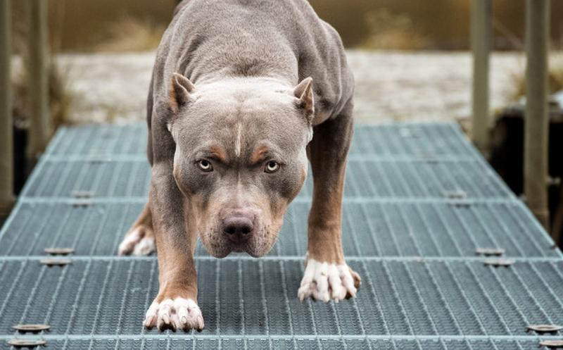 Niña muere tras ataque de tres perros pitbull en Detroit