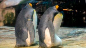Pareja de pingüinos homosexuales adopta un huevo que había sido abandonado