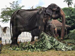 Organización difunde fotos de un elefante desnutrido y maltratado en Sri Lanka