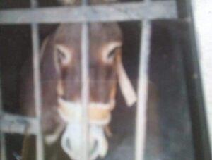 Encarcelan a un burro en Oaxaca para que sus dueños no puedan transportar leña
