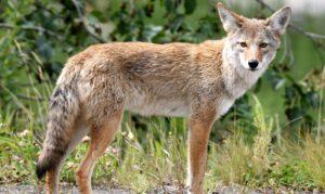 Gobierno de Trump autoriza matar animales silvestres con bombas de cianuro