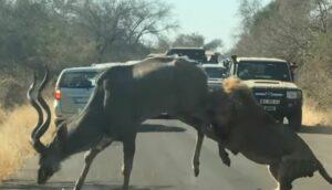 Turistas graban el enfrentamiento entre un león y un antílope