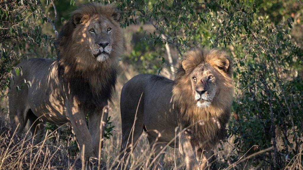 Un hombre muere al ser atacado por leones en Sudáfrica; matan a tres de los animales