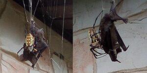 Mujer graba como una araña gigante atrapa un murciélago para devorarlo