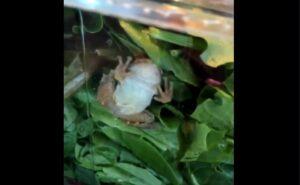 Familia encuentra una rana viva en una ensalada que compró en una tienda