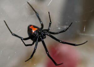 En México sólo dos arañas de casa son peligrosas
