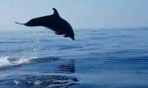 Delfín agradece a pescadores que liberaron de una red a su cría