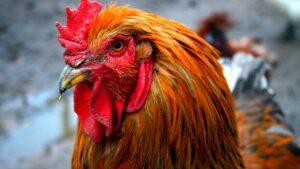 Una mujer muere al ser atacada por un gallo en Australia