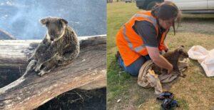 Koala protege a su cría durante un incendio en Australia