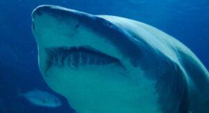 Captan en video el momento en que un tiburón se come a otro en acuario de Bélgica