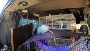 Mujer que vivía en una camioneta con 320 ratas acepta deshacerse de ellas