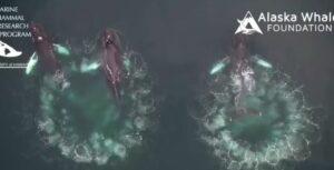 Biólogos captan una espectacular técnica de las ballenas jorobadas para cazar