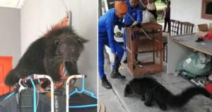 Un extraño animal con apariencia de gato y de oso asusta a habitantes de un pueblo de Malasia