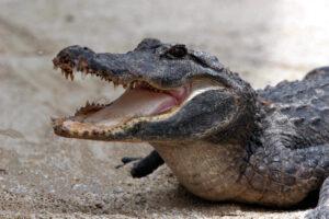 Una niña le arranca los ojos a un cocodrilo que atacaba a su amiga