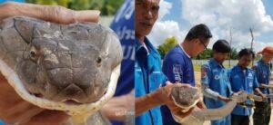 Encuentra una cobra real de 4 metros en una alcantarilla en Tailandia