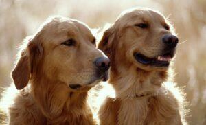 Matrimonio inglés busca a alguien que le cuide a sus perros por más de 37 mil euros al año