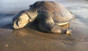 Más de 100 tortugas marinas mueren en playas de Tamaulipas por culpa de redes de pesca