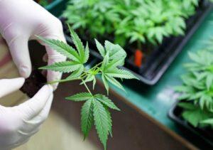 Empresa de EU ofrece empleo como evaluador de mariguana