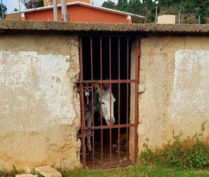 En Chiapas encarcelan a un burrito por hacer destrozos