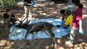 Encuentran un ciervo muerto con 7 kilos de plástico en su estómago