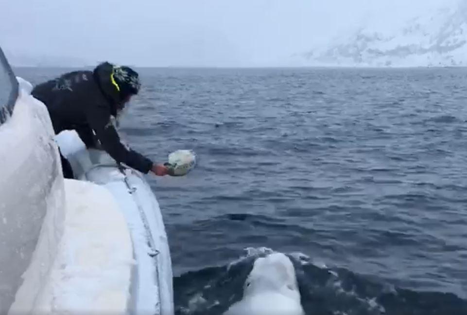 Ballena beluga juega rugby con un marinero en el océano