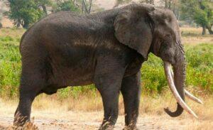 Cazan con drones a elefante que mató a cinco personas en la India