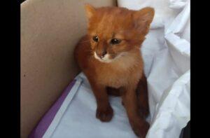 Joven rescata a un felino y resulta ser un puma yaguarundí
