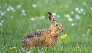 Catalogan al conejo de monte en peligro de extinción