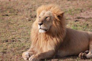 León escapa de un parque en Kenia y devora a un hombre