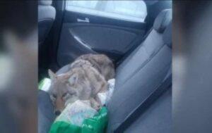 """Hombre ayuda a un """"perro"""" que atropelló por accidente y después se da cuenta que era un coyote"""