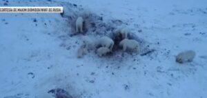 Más de 50 osos polares invaden una aldea rusa en busca de comida