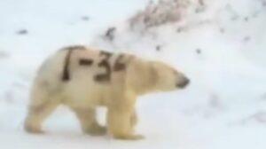 Denuncian maltrato a un oso polar; le pintaron letras en su cuerpo