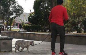 Hombre saca a pasear a su cachorro de tigre siberiano y Profepa lo asegura