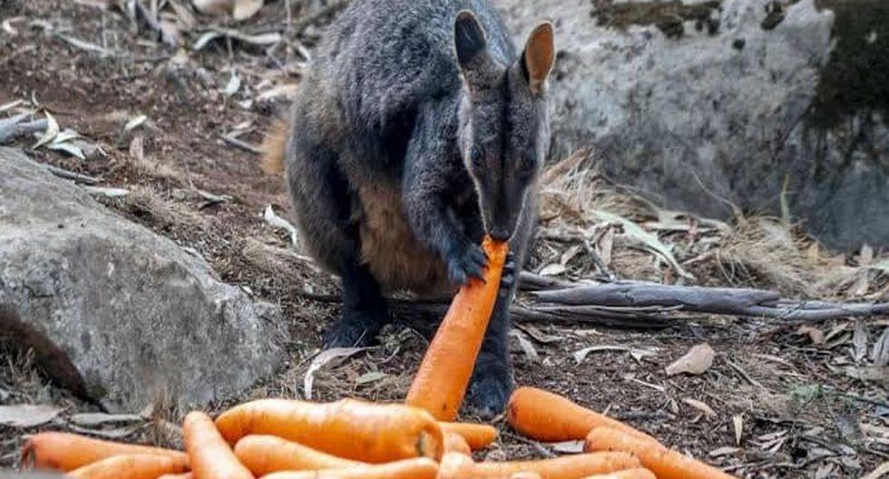Helicópteros lanzan verduras para alimentar a los animales en Australia