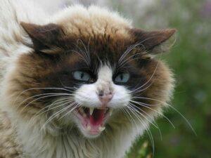 Un gato enojado encierra a su dueña en casa por dos días