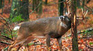 Captan en video el momento en que un ciervo pierde sus astas