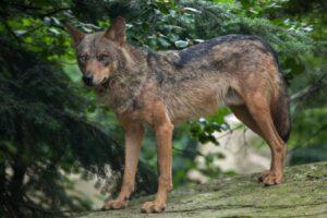Un hombre tuvo por años un lobo como mascota pensando que era un perro