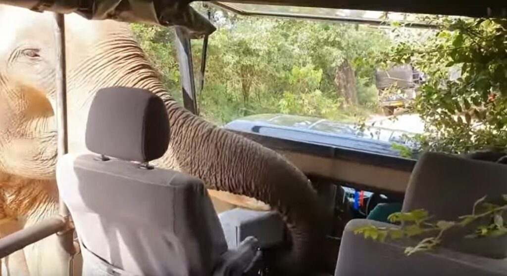 Elefante asusta a turistas de un safari al pedirles comida
