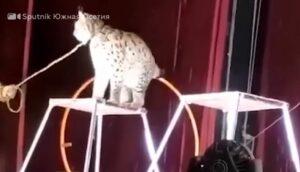 Un lince ataca a su domador en pleno show de un circo