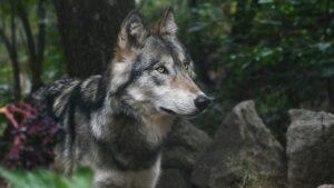 Investigan la muerte de una loba gris en peligro de extinción