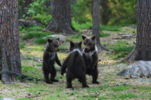 Fotógrafo capta a crías de oso bailando y jugando como niños en Finlandia