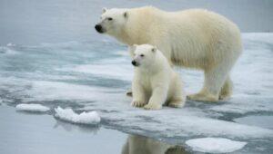 El canibalismo entre osos polares ha aumentado por la falta de alimento, advierte especialista