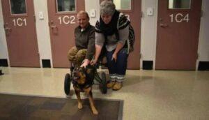 Un perro en silla de ruedas encuentra una nueva familia tras ser rechazado en varias ocasiones