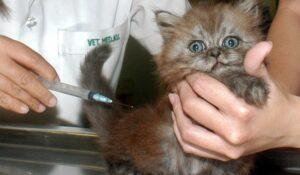 """Detectan """"caso aislado"""" de un gato infectado con coronavirus en Bélgica"""