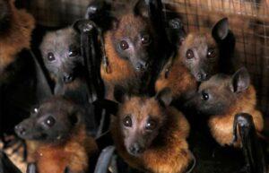 En una aldea de Perú queman a casi 500 murciélagos por miedo al coronavirus