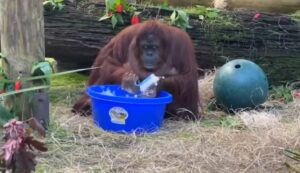 Orangután imita a sus cuidadores y se lava las manos con agua y jabón